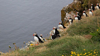 puffins at Grimsey