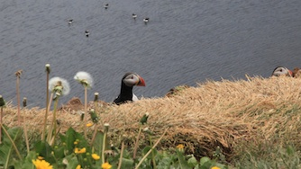 Iceland 2012, Grimsey - diving and snorkeling with the Puffins is amazing...